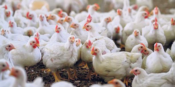 Drugie ognisko grypy ptaków w 2021 r.
