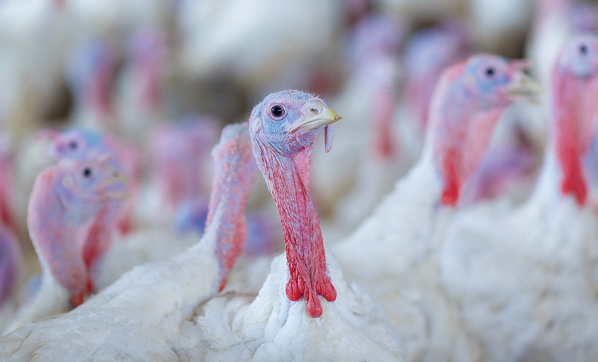 Piąte ognisko grypy ptaków w 2021r.